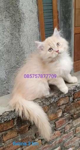 Kucing persia betina umur 3 bulan