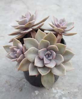 Graptoveria