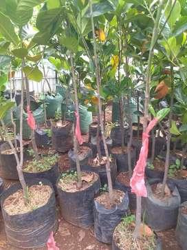 Jual Bibit Pohon Nangka Dak.tersedia macam macan pohon buah lainnya.