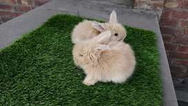 ENGLISH ANGORA RABBIT BUNNIES PAIR