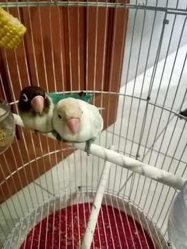 Jual lovebird sepasang