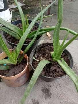 tanaman Lidah buaya