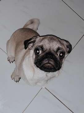 Anjing PUG Good Quality (JUAL CEPAT)