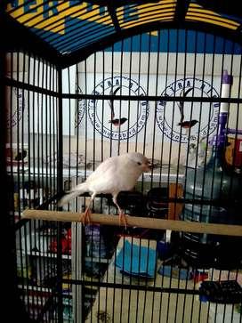 Burung Rasmi gacor banget