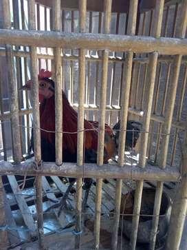 Ayam Hutan merah Jawa Gacoor