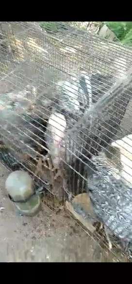 Ayam kalkun usia 3 bulan