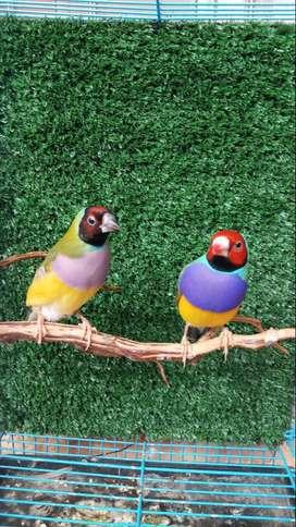 Burung Goldian Finch Dari Australia Kepala Merah Dada Ungu Sepasang