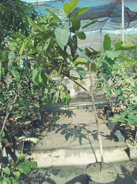 Bibit jambu air black kingkong 1 meter up