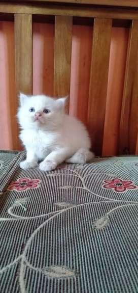 Kitten Persia white solid