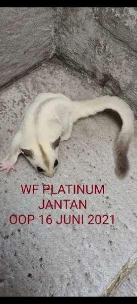 Sugar glider wf platinum jantan