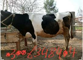 miliking cows, all breed,jerseys,,,holistian, frisein,,all kind of cow
