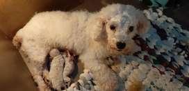 anjing white toy poodle jefra petshop