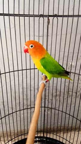 Love bird biola