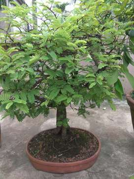 17-20 yrs old very attractive bonsai plants for sale. Total 12 pcs