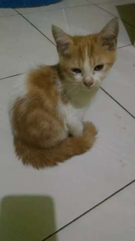 Kitten Persia Cilodong