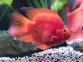 Red &  Yellow Parrott Fish
