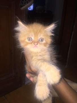 kucing persia medium peaknose