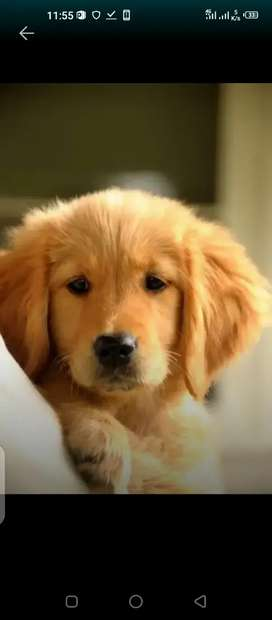 Golden retriever female puppy available