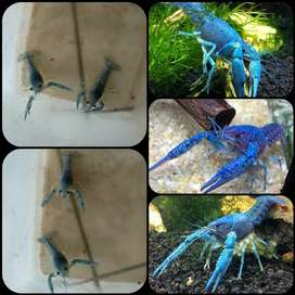 Lobster electric blue/ blue alleni crayfish untuk aquarium aquascape