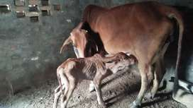 Milky Cow for Sale with baby 8 kg milk day