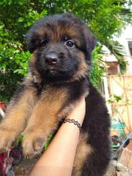 anjing herder jantan stambum vaksin jefra petshop