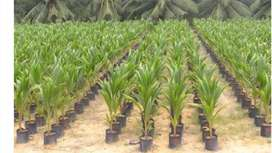 Coconut Plant (7 to 8 ft height)