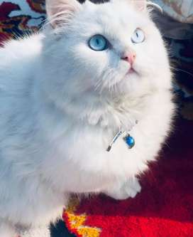 Male persian  white cat with blue eyes#Harry