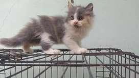 LA Kitten Persia 2