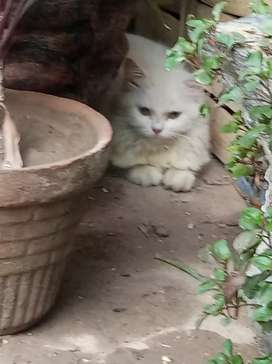 Persian male and female cat