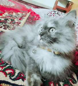 Persian cat age 5 month female litter train active and playfully