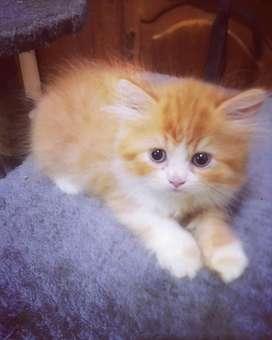 Anak kucing persia sepasang lincah dan sehat