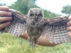 Owl baby for sale