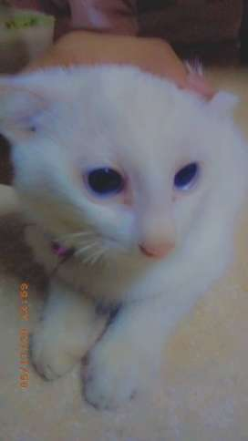 Age:4 month CoaT DouBLe EyeS BLuE BreeD PeRSaiN
