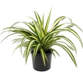 Spider Plant - Indoor Air Purifier Plant
