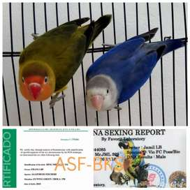 Lovebird Sepasang Trah & Split Biola