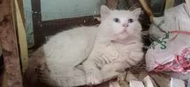 8 months old cat for sale
