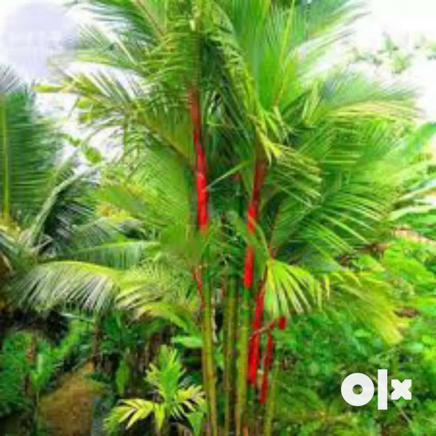Red palm for sale all type size are available 0