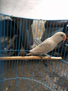 Lovebird Jantan Dewasa