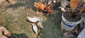 Ayam kampung / ayam brahma / ayam kapas / ayam walik / ayam keriting