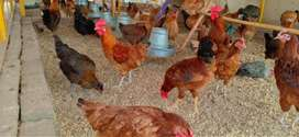 Fresh eggs for sale daily basis.