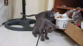 Kitten Russian Blue Pure Breed 3 bulan