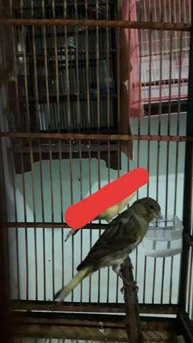 Di jual cepat burung kenari betina siapan