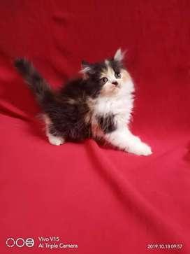 Kucing persia kitten calico 3 warna betina