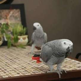 African Grey Parrot only sell me