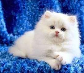Pure Pure Persian cat kitten good linges super good linges pure linge