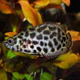 Hiasan Aquarium Ctenopoma