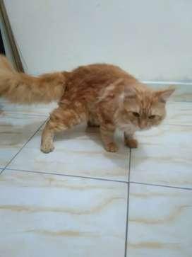 Kucing mainecoon persia indukan jantan