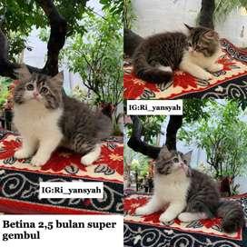 Kucing persia betina 2bulan dan 15 bulan