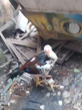 Ayam bangkok mantab kualitas bagus