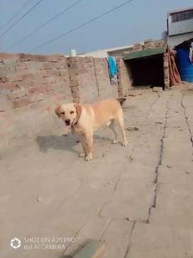 So cute and active dog Agee 11 manth